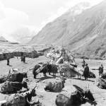 Himálaj-Nepál-Manáslu, Karavana yaků  | Himalaya-Nepal-Manaslu Yak caravan with cargo (1979)